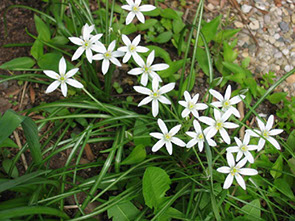 Amc dvmaydelaware valley chapter appalachian mountain club flowers are bright white with six petals and prominent green stripe on underside bloom size is one to two inches across blooms late april to mid june mightylinksfo