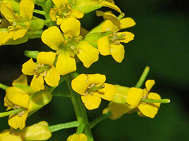 Amc dvaprildelaware valley chapter appalachian mountain club tufted plant with elongated clusters of small bright yellow flowers atop erect leafy stems frequently forms showy yellow mightylinksfo