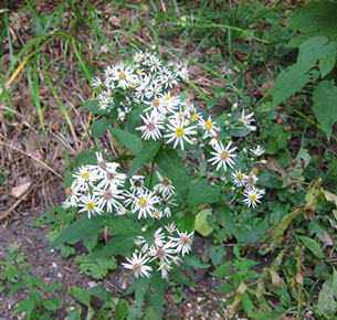 Amc dvseptemberdelaware valley chapter appalachian mountain club white aster eurybia divaricata formerly aster divaricatus is a perennial native to eastern north america especially the appalachians found in the woods mightylinksfo Image collections