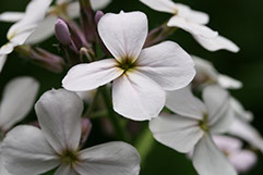 Amc dvmaydelaware valley chapter appalachian mountain club flower has four petals unlike the similar wild blue phlox which has five flowers can be purple white and all shades in between mightylinksfo