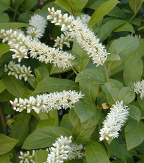 Amc dvmaydelaware valley chapter appalachian mountain club virginia sweetspire itea virginica is a perennial shrub native from pennsylvania and new jersey south along the appalachians and the gulf coast mightylinksfo