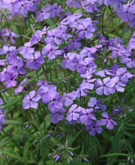 Amc dvjunedelaware valley chapter appalachian mountain club wild blue phlox oe wild sweet william phlox divaricata a perennial native to eastern north america flower has five petals while the similar dames mightylinksfo Image collections