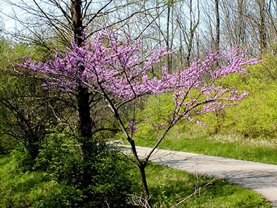 Amc dvaprildelaware valley chapter appalachian mountain club eastern redbud cercis canadensis is a large deciduous shrub or small tree native to eastern north america from southern ontario canada south to northern mightylinksfo Choice Image