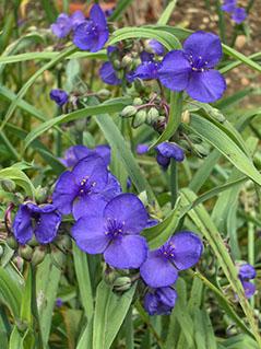 plantes sauvage du quebec guide