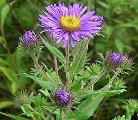 Amc dvaugustdelaware valley chapter appalachian mountain club new york aster symphyotrichum novi belgii left new england aster symphyotrichum novae angliae right are perennials native to northeastern north mightylinksfo