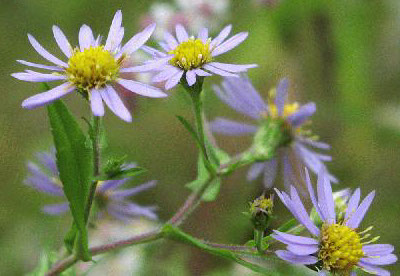 Amc dvseptemberdelaware valley chapter appalachian mountain club crooked stemmed aster symphyotrichum prenanthoides a perennial native from southern ontario to tennessee minnesota to the atlantic coast and southern new mightylinksfo Image collections