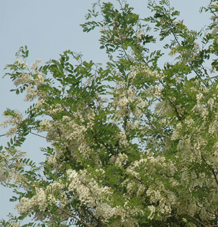 Amc dvmaydelaware valley chapter appalachian mountain club black locust or false acatia robinia pseudoacacia is a perennial tree or shrub native to the southeastern united states but has been widely planted and mightylinksfo