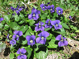 Amc dvaprildelaware valley chapter appalachian mountain club violets viola sororia synonym viola papilionacea is a native of eastern north america that can grow as an annual or as a perennial mightylinksfo