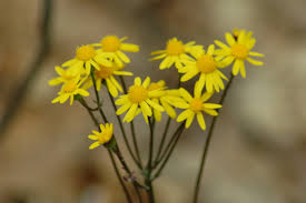 Amc dvmaydelaware valley chapter appalachian mountain club a perennial evergreen that blooms april through july native to eastern north america the flowers are about a half inch across abd grow on strons stems mightylinksfo