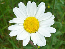 Amc dvmaydelaware valley chapter appalachian mountain club an annual eurasian native now found in all us states and canadian provinces common white and yellow daisy of the fields with solitary flowers on slender mightylinksfo