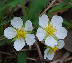 Amc dvmaydelaware valley chapter appalachian mountain club it was hybridized with a species from chile to produce the domestic strawberry a low perennial forming runners and several small white flowers mightylinksfo